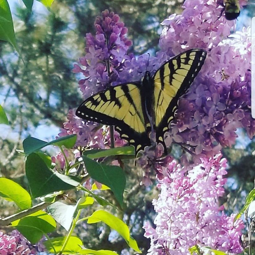 butterfly and lilacs.jpg