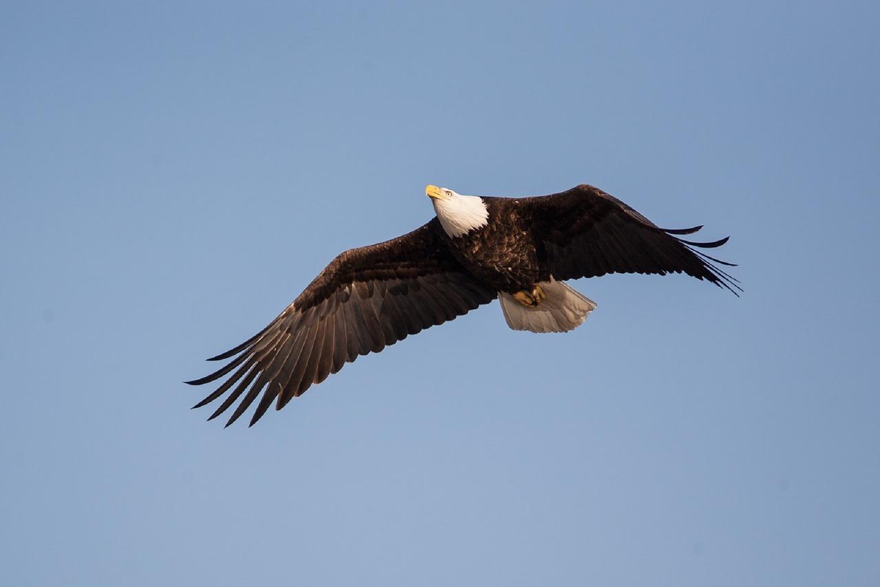 bald-eagle-1018732_1280